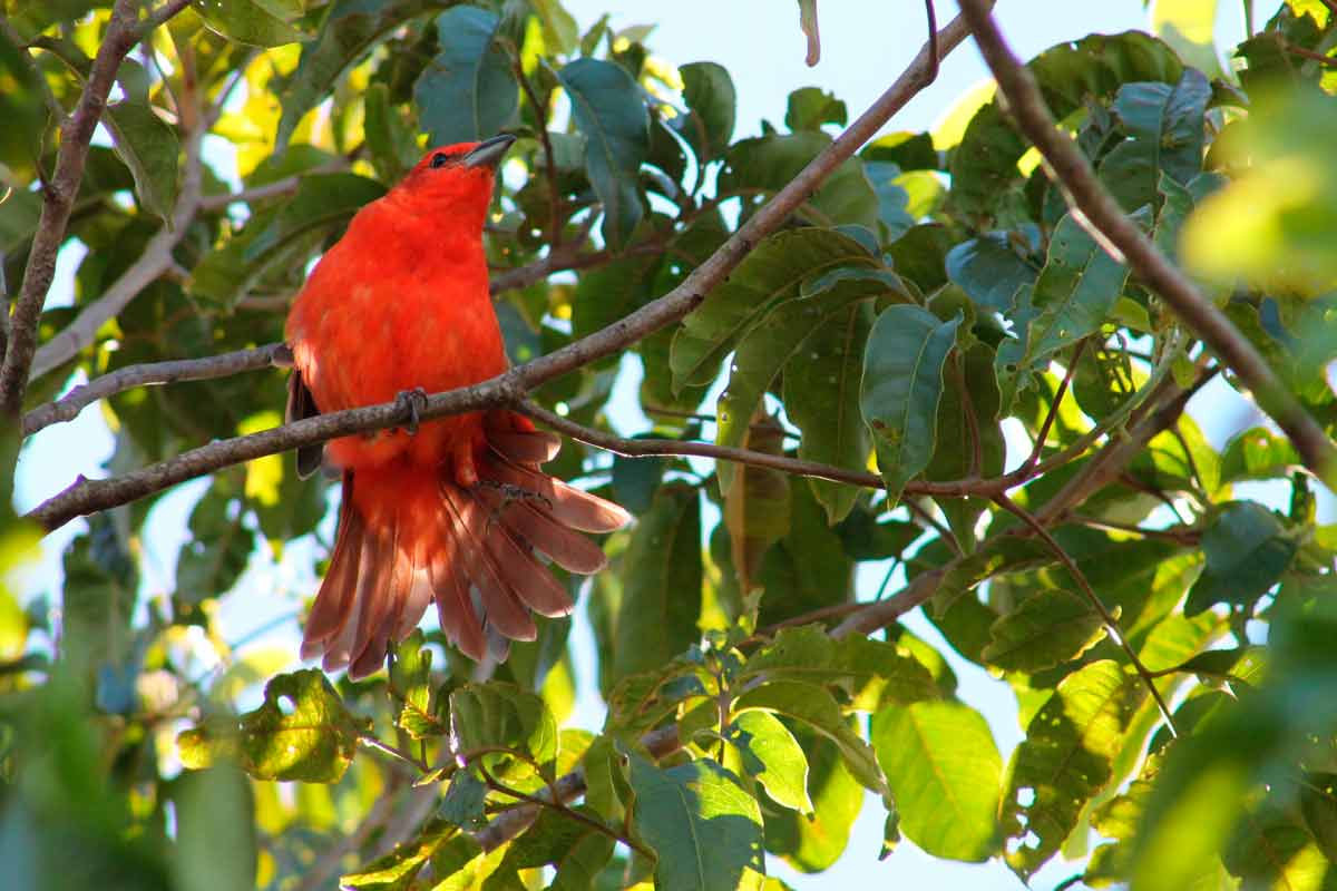 aves|caatinga